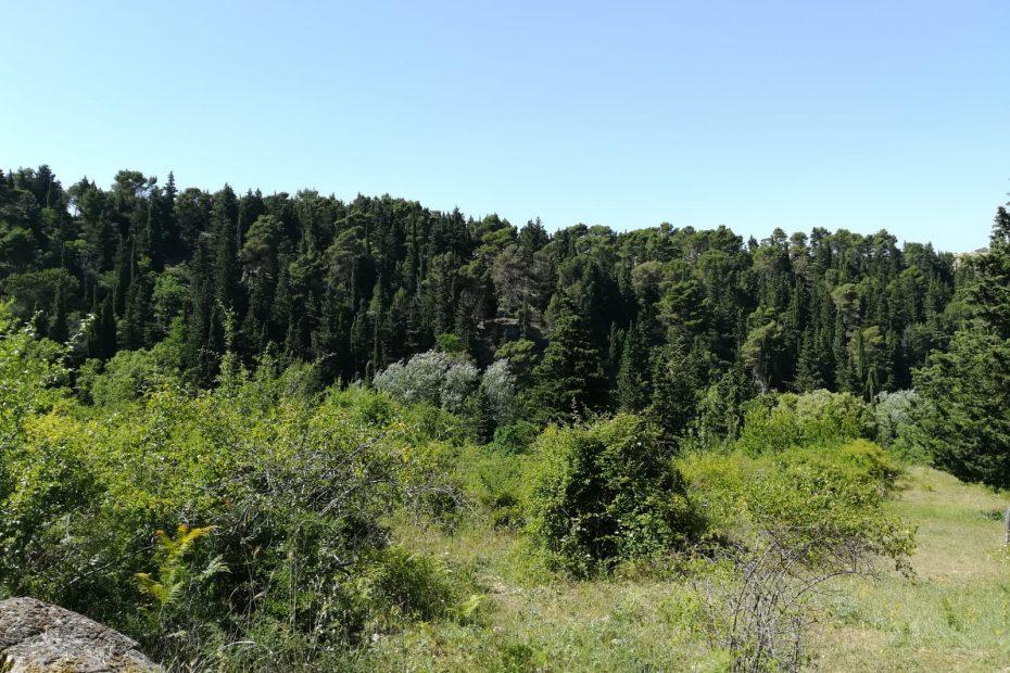 The Buccheri pine forest
